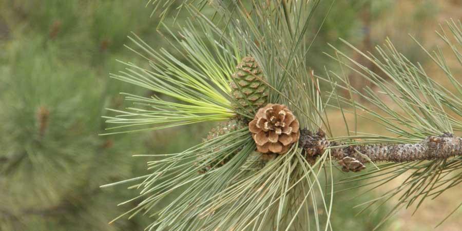 Undeveloped Pinecones