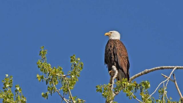 Bald Eagle at Union Reservoir