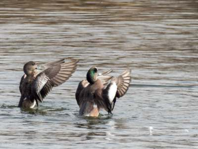 A Pair of American Wigeon - Scott E. Severs