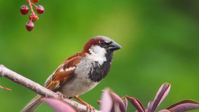 House Sparrow - Scott E Severs