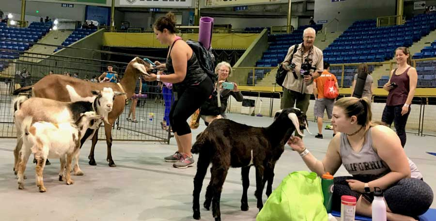 Goat Yoga at Denver County Fair