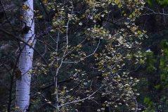 brown aspen leaves