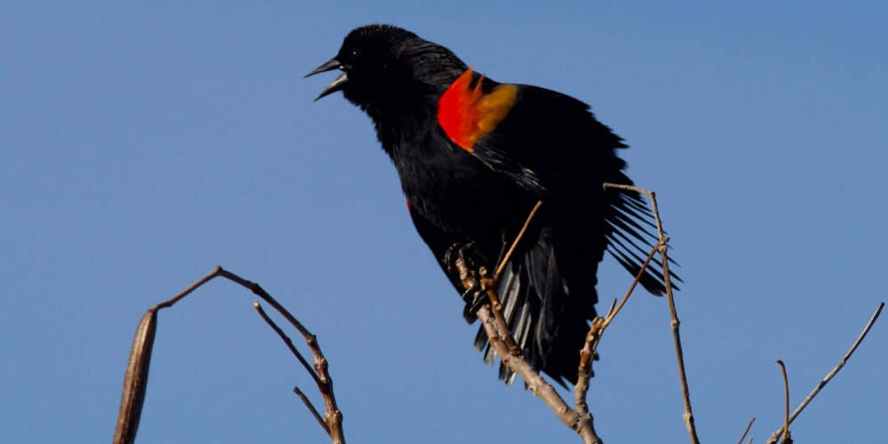 Nature Almanac – Red-Winged Blackbirds