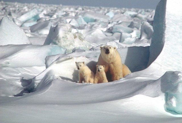 Three polar bears in their habitat