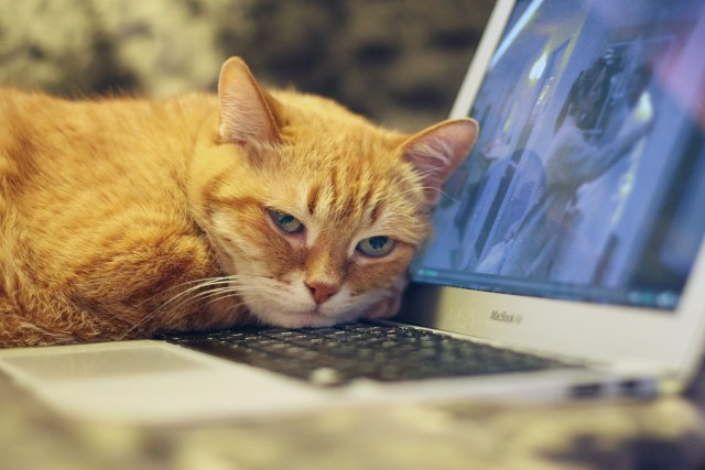 A grumpy cat laying on a laptop