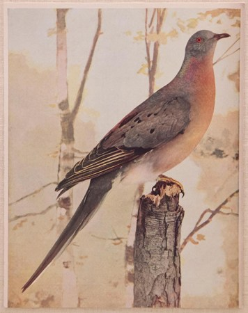 The passenger pigeon, once the most numerous bird species in North America, now extinct.