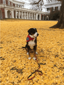 A large dog in a bandana sits patiently on the UVA Lawn