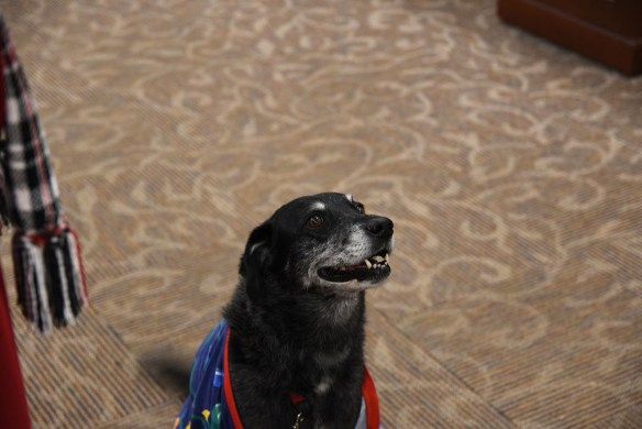 Portrait of therapy dog Ruth, an Australian Shepherd/Lab mix