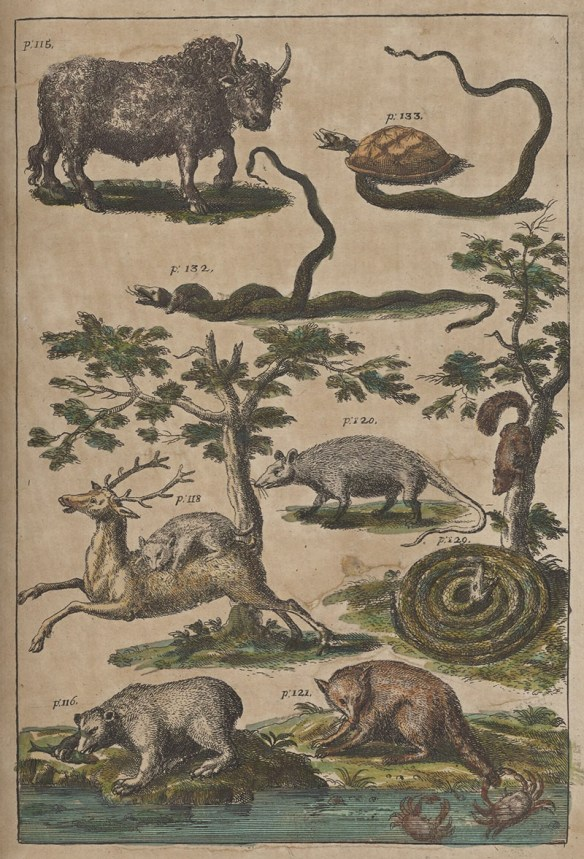 "Fanciful eighteenth century drawings of indigenous wildlife, including a bison that looks like a wooly domestic cow, a tortoise, a snake twined around another snake, an opossom, a coiled rattlesnake ""charming"" a squirrel down a tree, a mountain lion upon the back of a deer. a bear eating a fish it caught from a stream, and a racoon baiting a crab with its tail in the water."