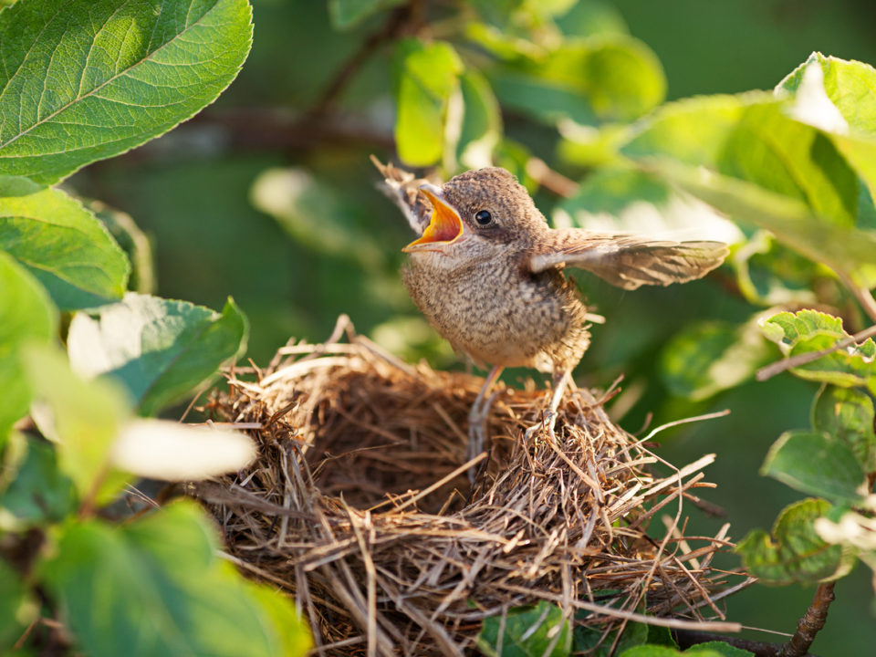 Baby bird in the nest at Alabama Wildlife Center