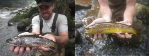 Photo of A 12-inch trophy brook trout and a colorful wild brown trout collected in the Savage River.