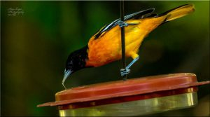 Photo of Baltimore oriole at feeder