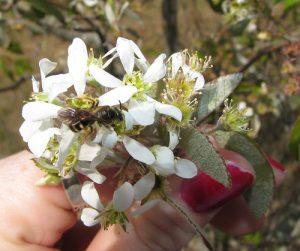 Photo of serviceberry