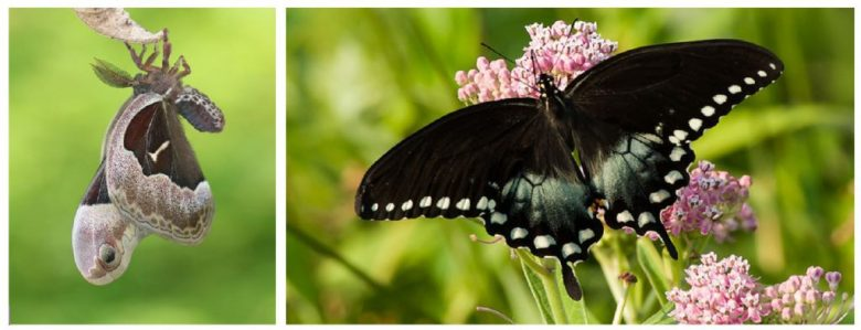 Photos of promethea moth and spicebush swallowtail