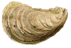 Image of oyster