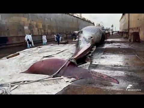 Ιταλία: Νεκρή μια από τις μεγαλύτερες φάλαινες που έχουν εντοπιστεί ποτέ στη Μεσόγειο…
