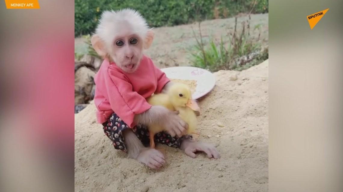 Ένα υπέροχο δίδυμο: Μαϊμουδάκι φροντίζει παπάκι σαν να είναι αδερφάκια