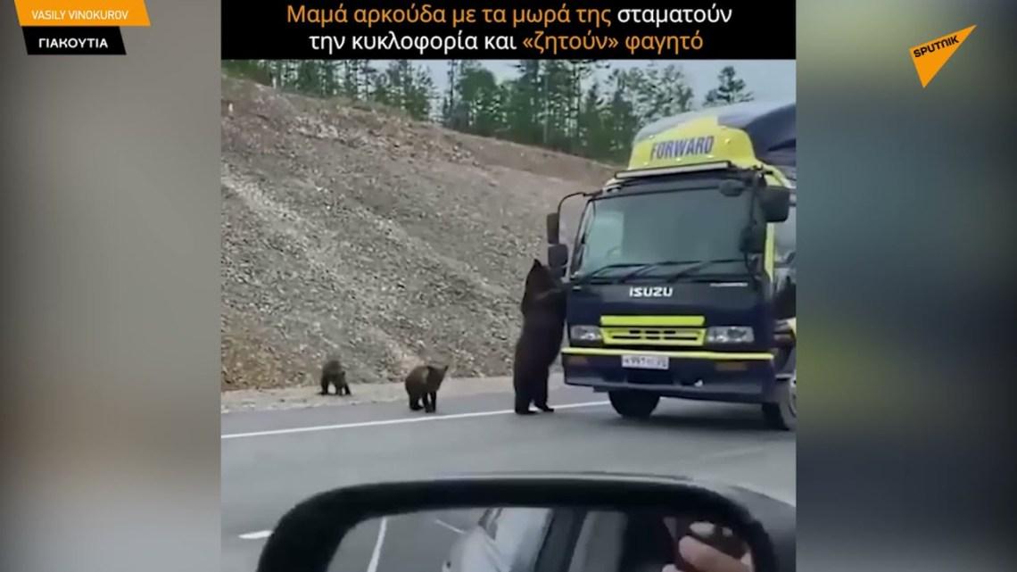 Μαμά αρκούδα με τα μικρά της σταματούν την κυκλοφορία και «ζητούν» φαγητό από τους οδηγούς