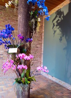 Natural orchids never appear in blue but are actually white or pink and infused with a blue dye. Unknowing amateur gardeners can often be taken in by this common misconception, buying blue orchids only to find them reverting to the original color with the next stem that blooms.