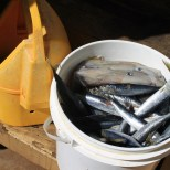 One of many buckets of herring and squid, to feed the MOC sharks. (Kathleen Ferraro/Medill)