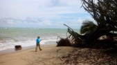 Rafael Méndez Tejeda points out a tree that fell due to accelerating erosion and sea level rise. (Janice Cantieri/MEDILL)