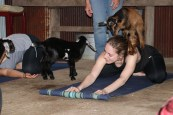 Curious goats make yoga more fun. (Stephanie Fox/Medill)