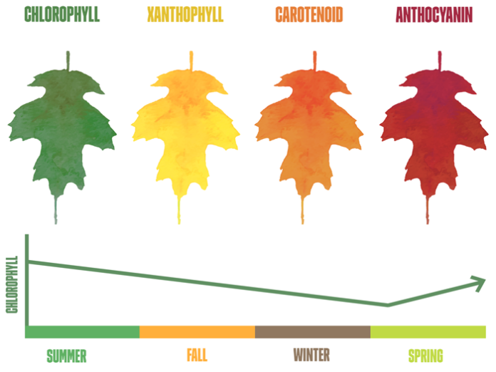 chlorophyll effect on leaf colors