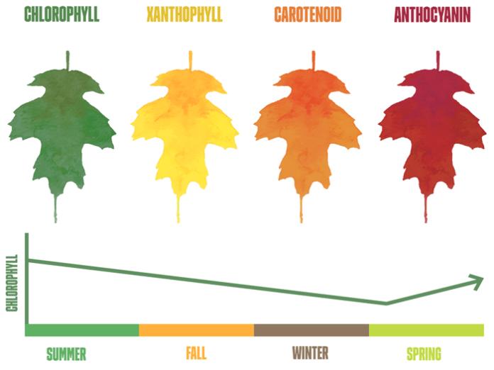 chlorophyll effect on leaf colors