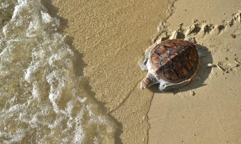 25 ปีแห่งการอนุรักษ์พันธุ์เต่าทะเลโดยกลุ่มรีสอร์ทครบวงจรลากูน่าภูเก็ต