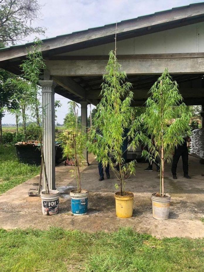 """""""我以為是竹子樹!"""" 男住家種大麻樹被捕   馬來西亞詩華日報新聞網"""