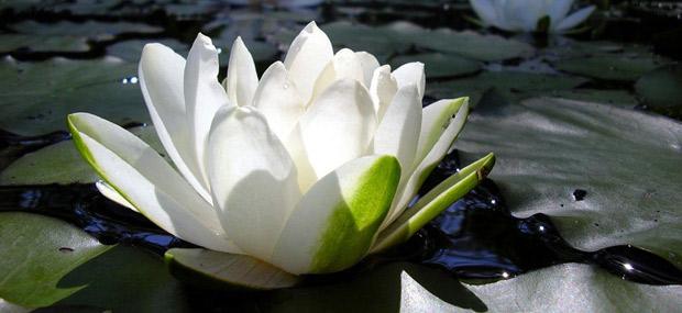 Haiku Nature And Spiritual Poems Lotus Flower Flor De Loto