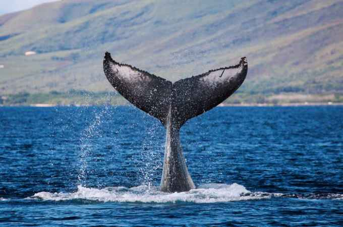 Whale Watch Sail Special Lahaina | PacWhale Eco-Adventures