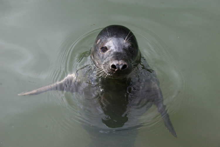 grey seals copy human