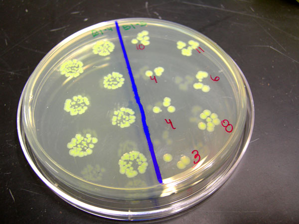 Assisting NASA in biology mission Stanford helps E coli
