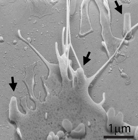A scanning electron microscope image of a cell grown over and interacting with nanopillars. Arrows indicate three nanopillars.