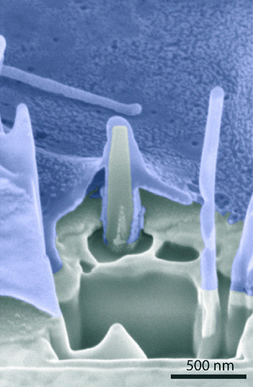 Image of the interface of cell (blue) and nanopillar shows cell membranes wrapped around the pillar.