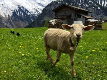 """Second Place, Sense of Place: Photo by Angela Feyder Gimmelwald, Switzerland. """"The hills are alive with the sounds of sheep bells."""""""