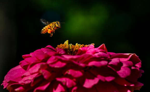 A bee collects pollen from a flower in the south campus Stewardship Garden.