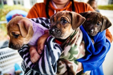 A volunteer holds three puppies during Tommie Give Day on Monahan Plaza in St. Paul on November 14, 2017 in St. Paul.