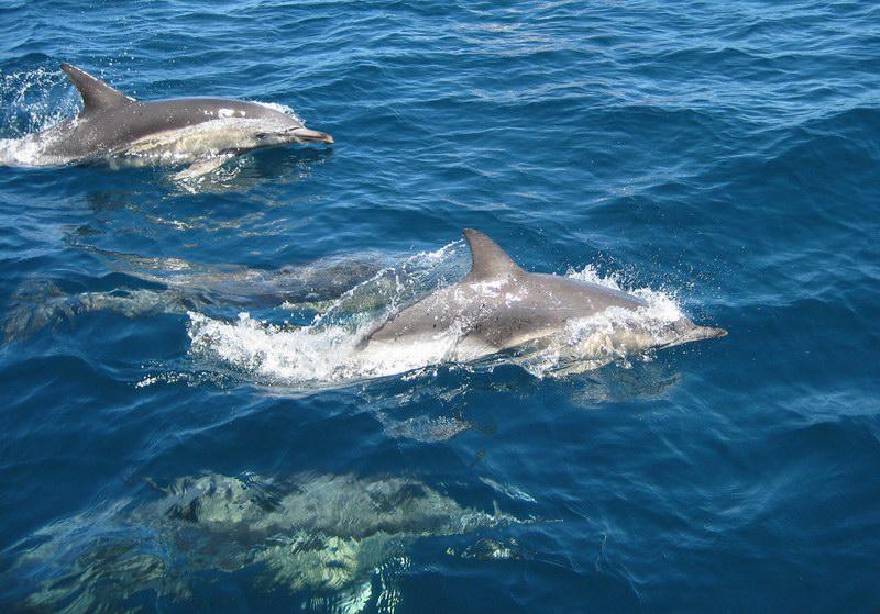 تأتي الدلافين لهذه المنطقة أثناء هجرتها