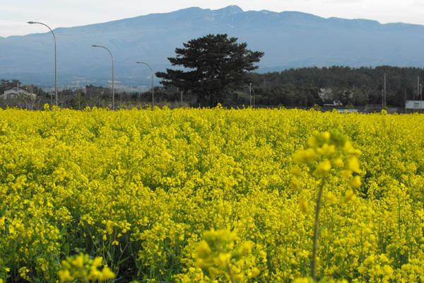 أزهار جزيرة جيجوـ كوريا الجنوبية