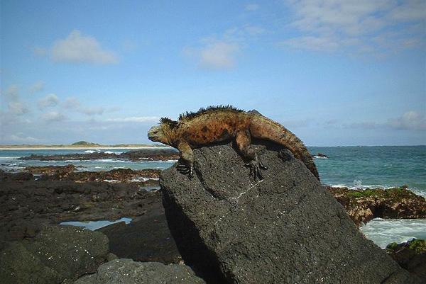 الاغوانة البرية تستوطن في جزر غالاباغوس بشكل دائم