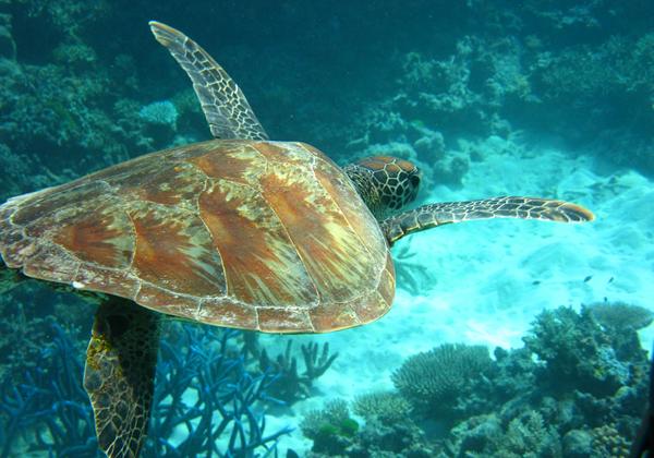 إحدي السلاحف البحرية الضخمة المستوطنة في الحاجز المرجاني العظيم