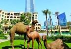 تمثال إبل الجديد في وسط مدينة دبي