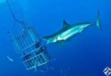 القرش الأبيض2