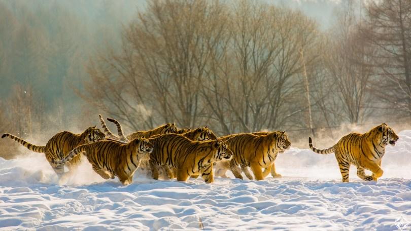 الصين-غابات-الصين-النمور-ثلوج-منتصف-الشتاء