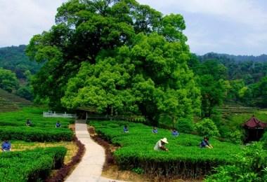 المعالم السياحية في هانغتشو - قرية لونغ جينغ