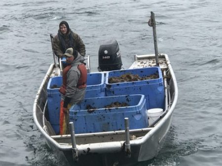 Kodiak Kelp Co. harvesters approach a dock with a load of freshly collected seaweed for Blue Evolution, a California-based company that is expanding its farming operations in Alaska.