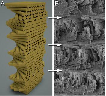 Helicoid structure found in the mantis shrimp's dactyl club and telson