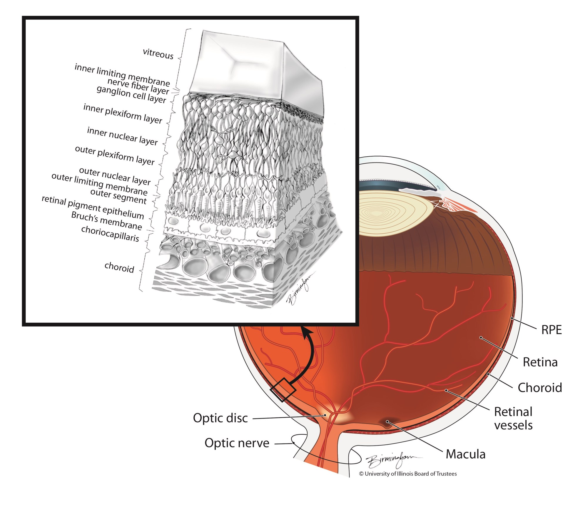 hight resolution of the layers of the retina include the rpe illustration lisa birmingham